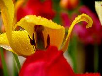 Tulip by dizdetcpizainy
