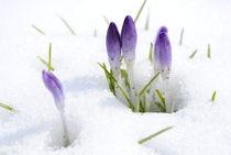 Der Frühling siegt von hannahw
