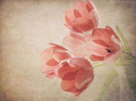 Tulip-melancholy