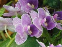 Lila Orchidee by Sven  Herkenrath