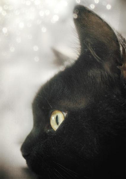 Theblackcat-sammie-c-sybillesterk