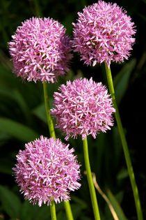 Blumenkugeln by Jacqueline Kolesch