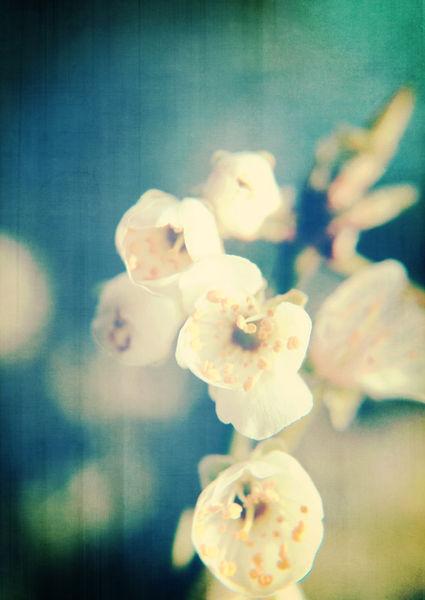Cherryblossom-chinoiserie-c-sybillesterk