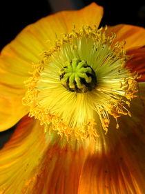 Gelbe Mohn-Blüte (papaver).Yellow blossom of poppy flower by Dagmar Laimgruber