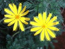 Gelbe schöne Blüte von Sven  Herkenrath