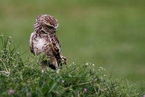 Little Owl von Karl Thompson