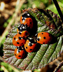 'L' for Ladybird ! by Roger Butler