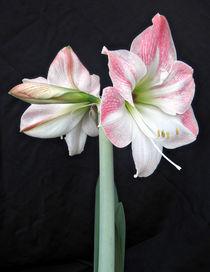 White & Pink Amaryllis (3) von Roger Butler