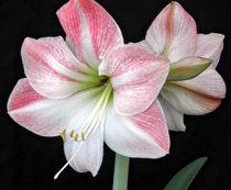 White & Pink Amaryllis (2) von Roger Butler