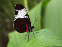 Schmetterling-Makro, heliconios sara. Sara longwing butterfly on green leaf von Dagmar Laimgruber