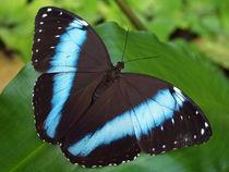 Schmetterling, Himmelsfalter, morpho peleides.Tropical, blue butterfly (common morpho) von Dagmar Laimgruber