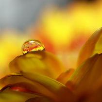 Wasser-Tropfen, Makro, auf Gerbera-Blüte. Water drop on yellow gerbera blossom von Dagmar Laimgruber