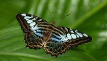 Schmetterling  blauer Segler, parthenos sylvia, blue clipper butterfly von Dagmar Laimgruber