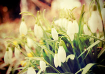 Snowdrops by Sybille Sterk