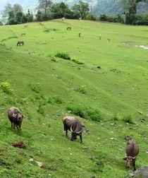Wasserbüffel im Gebirge von reisemonster