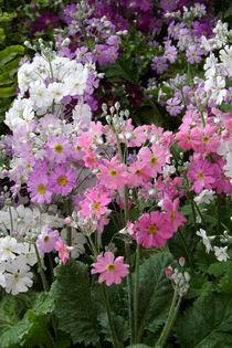 Blüten von Flieder-Primeln  by lorenzo-fp