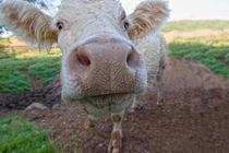 Die Kuh macht Muh von bieberchen