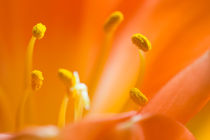 Blüten von bieberchen