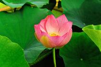 Lotus geschlossen von Jürgen Feuerer