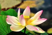 Lotus by Jürgen Feuerer