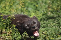 Yawn of an artcic fox by Andras Neiser