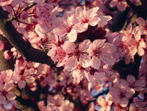 Spring Pink Flowers of almond-tree  von Tricia Rabanal