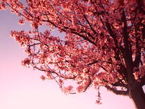 Spring, Pink Flowers of almond-tree by Tricia Rabanal