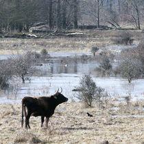 Wilde Kuh mit Rabenvogel by Marina von Ketteler