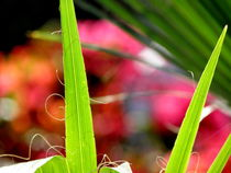 Tropical Palm Leaves - Tropical Heat ....- von bebra