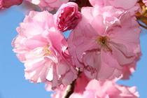 Japanese cherry flowers von Mircea Nicolescu