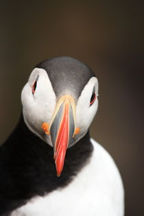 Puffin portrait II. by Andras Neiser
