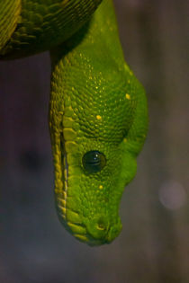 Green Tree Python von James Biggadike