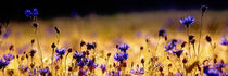 Kornblumen by bieberchen