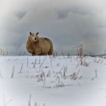 Sheep in Snow III by David Pringle