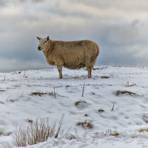 Sheep in Snow II by David Pringle