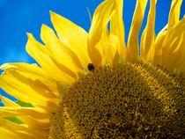 Sunflower von juliane-brueggemann