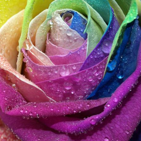 wasser tropfen auf bunter rosenbl te rose coloured water droplets fotografie als poster und. Black Bedroom Furniture Sets. Home Design Ideas