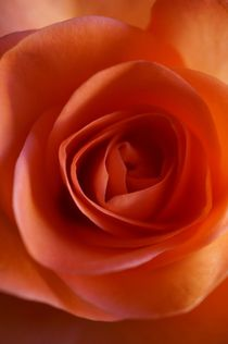 Apricot Rose by anowi