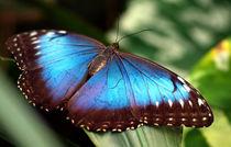 Schmetterling, Himmelsfalter, Makro, morpho peleides.Tropical, blue butterfly (common morpho) von Dagmar Laimgruber