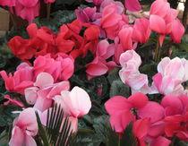 Cyclamen - Primulaceae von bebra