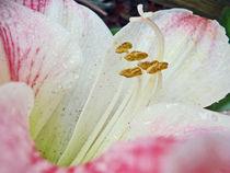 Amaryllis Belladonna von Judy Hall-Folde