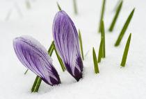 Zwei violette Krokusse im Schnee von Matthias Hauser
