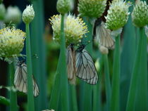 Butterflies on garlic flowers by dizdetcpizainy