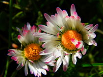 Gänseblümchen-Paar by Carmen Steinschnack