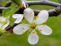 Zwetschkenblüte by Carmen Steinschnack