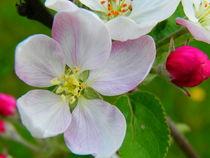Apfelblüte by Carmen Steinschnack