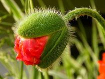 Rote Mohnblüte von Carmen Steinschnack