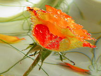 Rose I by Carmen Steinschnack