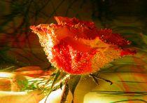 Rose II by Carmen Steinschnack