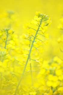 'Yellow makes me happy' by AD DESIGN Photo + PhotoArt